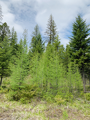 Beautiful larch trees in the spring.